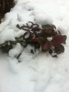 Wintergreen's red berries brighten up this early February Portland, Oregon snow scene.