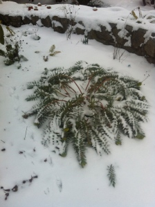 Poor warm weather perennial.