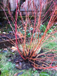 Week after snow - red twig dogwood stunner
