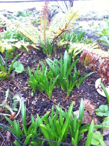 Week after snow - up come what I call the 'wild hyacinths,' along with some strawberries and sword fern behind.