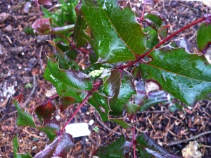 Fall-planted tall Oregon grape has flower buds!