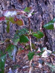 Fall-planted (under the Doug Fir) tall Oregon grape has flower buds! Success!