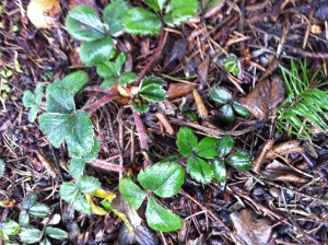 Native coastal strawberries doing well getting established where I planted in a dry area under the Doug Fir.